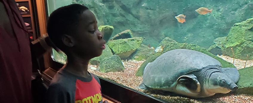Young boy gazes into an aquarium window to watch a turtle swim.