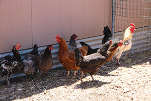 An exterior photo of four chickens and four roosters.
