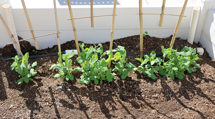 seedlings in a garden bed